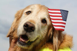 golden_retriever_with_american_flag
