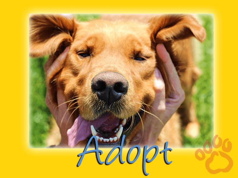 Adopt A Golden Retriever Graphic