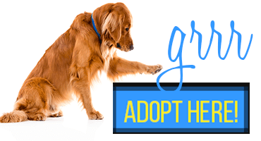 adopt a golden retriever here