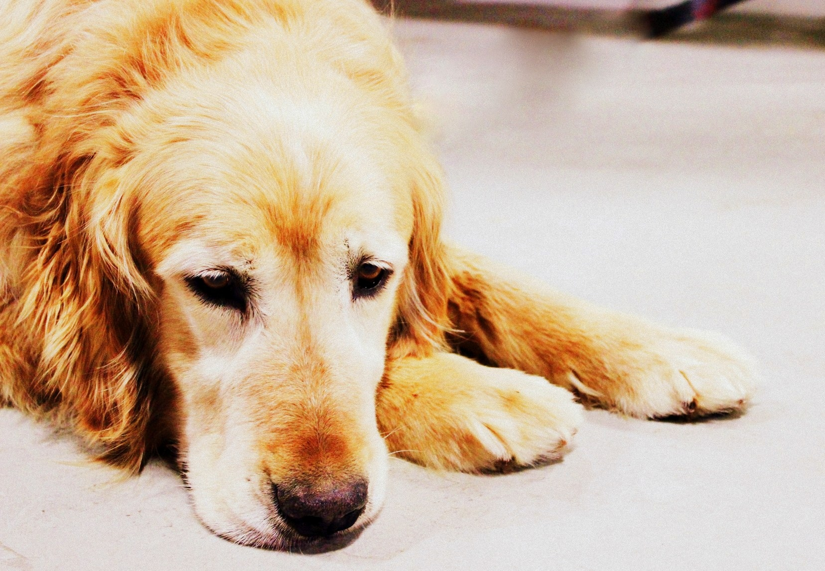 senior golden retriever for adoption