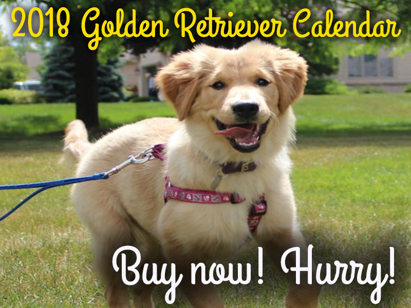 2018 Golden Retriever calendars, buy now help our dogs for adoption through Golden Retriever Rescue Resource, serving Ohio, Michigan and Indiana.
