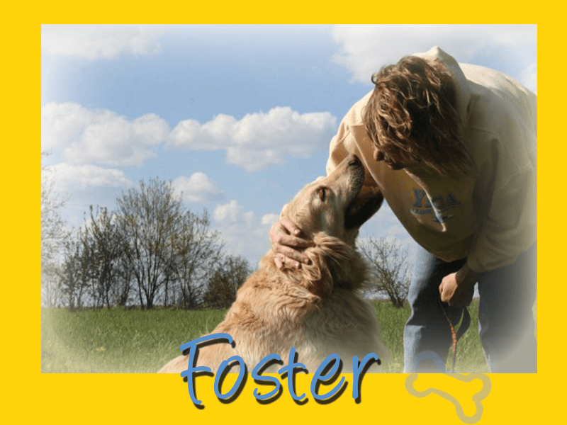 Foster a golden retriever - Golden Retriever Rescue Resource needs foster homes.