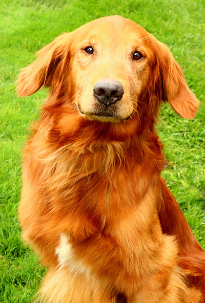 golden_retriever_for_adoption