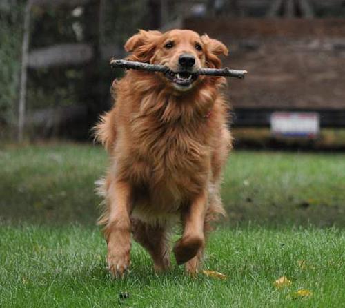 Golden Retriever Rescue Resource Toledo Dog Adoption
