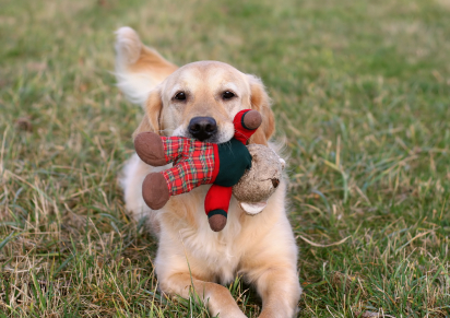 golden retriever with stuffed toy