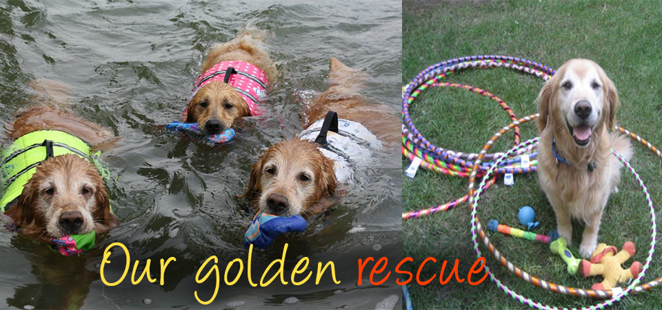 rescued golden retrievers