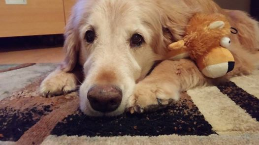 senior golden retriever dog