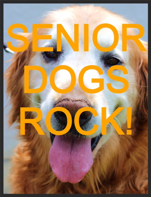 senior golden retriever dogs rock