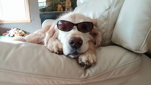 senior golden retriever dog with sunglasses