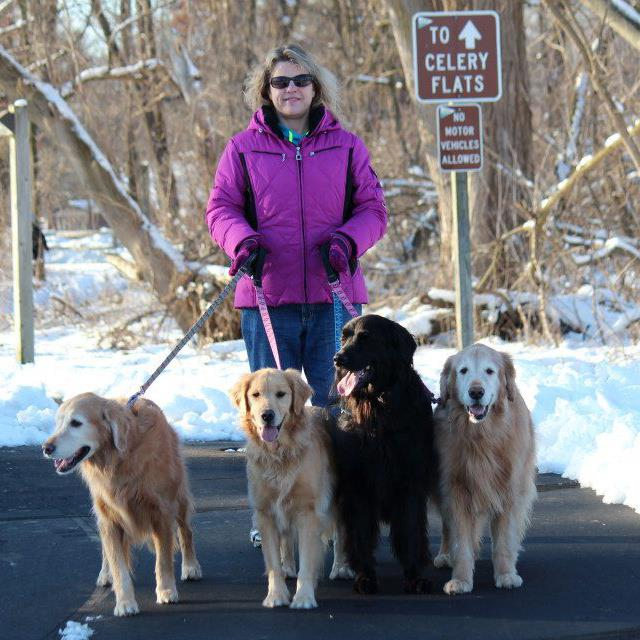 foster mom walking golden retriever dogs