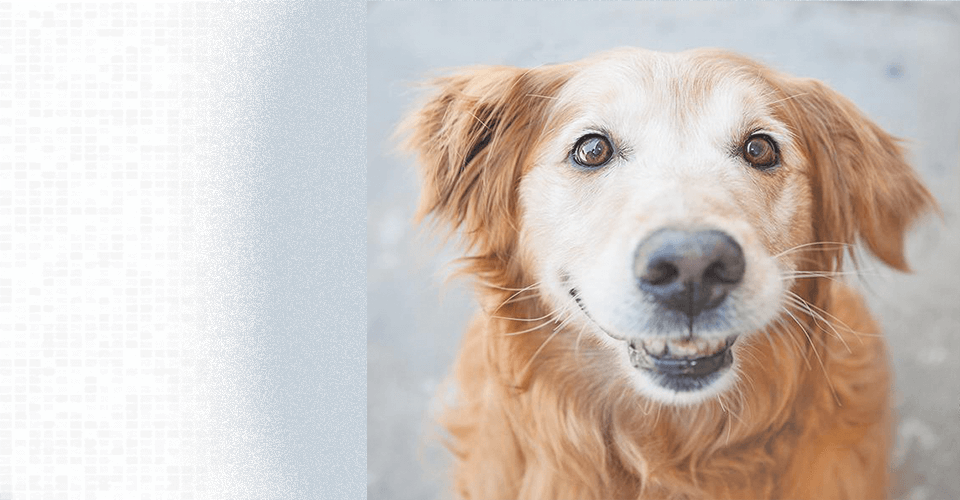 A golden retriever with a funny face welcomes you to Golden Retriever Rescue Resource, a non-profit golden retriever rescue serving Ohio, Michigan and Indiana.
