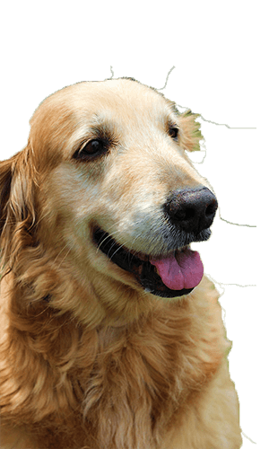 Golden Retriever Rescue Resource Golden Retriever Adoptions Toledo